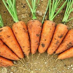 норма высева семян моркови столовой кг га