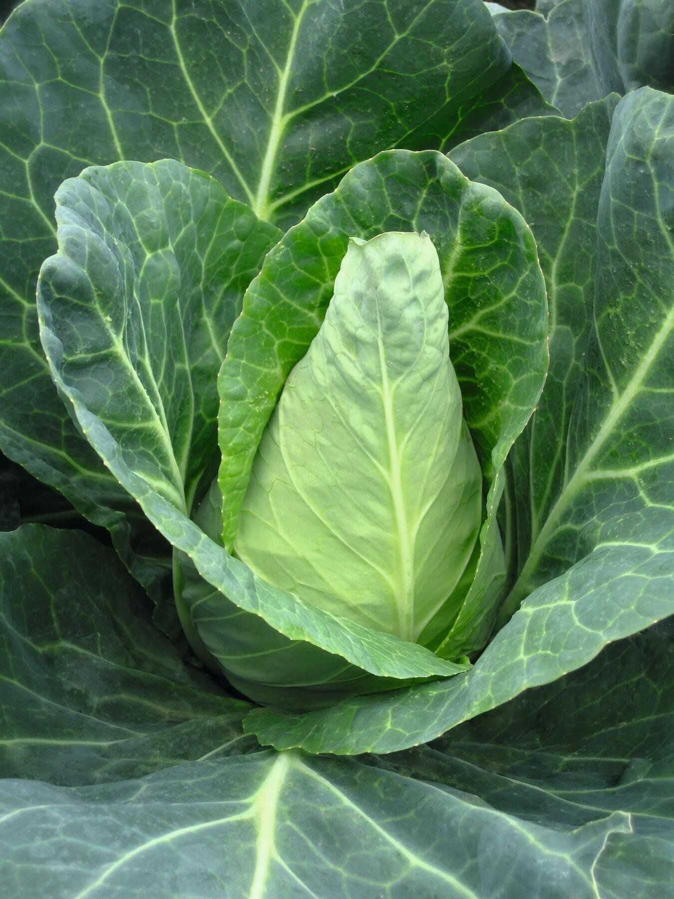 сорта листовой капусты фото с названием хочу поздравить